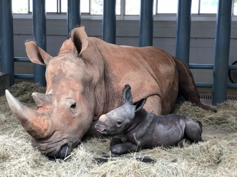 Breaking News! Endangered White Rhino Born at Animal Kingdom